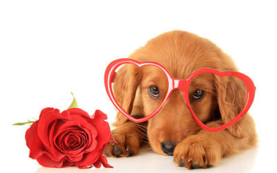Puppy wearing heart glasses and laying next to a rose