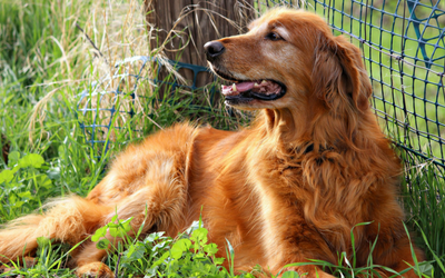 Older golden retriever laying in the grass